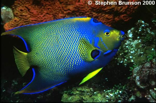 Underwater photography of queen angelfish holacanthus for Queen angel fish