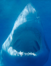 Great White Sharks are considered to be the ultimate predator - Carchodon Carcharias