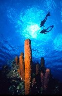 This scuba photo was taken at Grand Cayman Island, in the Caribbean. A picture type I refer to as \\