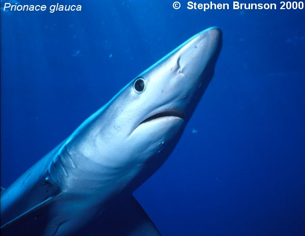 The world's most abundant oceanic shark, the blue shark (Prionace glauca) is a migrant in both the Atlantic and Pacific, but little is known about its migrations. Research based on blue shark tagging has indicated that they travel with the seasons as water cools. They also appear to have mating grounds in several areas, including the north Pacific and off the coast of Portugal