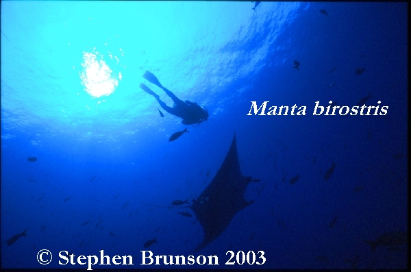 What Do Manta Rays Eat?